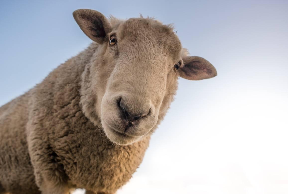 Door de wol geverfd – Herkomst en betekenis
