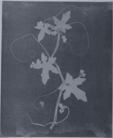 William Henry Fox Talbot; Botanical Specimen; c.1835; photogenic drawing negative; National Museum of Photography, Film, and Television (Great Britain)