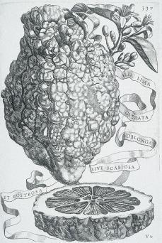 Giovanni Battista Ferrari; Hesperides: Alia lima citrata oblonga sive scabiosa et mostrosa; etching and engraving; 1646