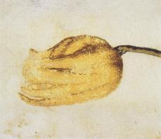Vincenzo Leonardi; Lemon, Citrus limon (L.) Burm. f.; fingered whole fruit; watercolor and body color over black chalk, badly rubbed; 80 x 90 mm; Windsor Castle, Windsor, UK