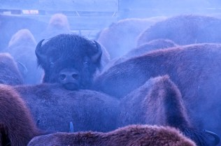 Wood bison in the handling pen. Photo by Scott Mair.