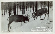 Deer fighting Jasper National Park. Photographed and Copyrighted by G. Morris Taylor, Jasper, Alberta, circa 1940. peel.library.ualberta.ca/postcards/PC008222.html
