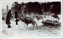 Feeding the deer - Jasper National Park. Photographed and Copyrighted by G. Morris Taylor, Jasper, Alberta, circa 1940. peel.library.ualberta.ca/postcards/PC008223.html