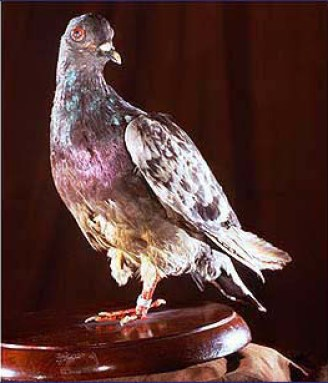 Cher Ami, the stuffed body of the most decorated pigeon of the First World War.