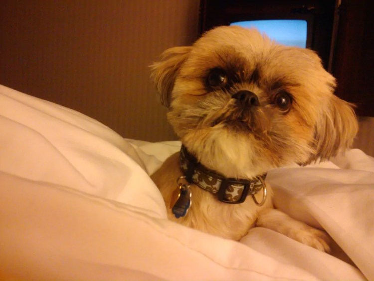 Lucy loves a good Pet-Friendly Hotel Room