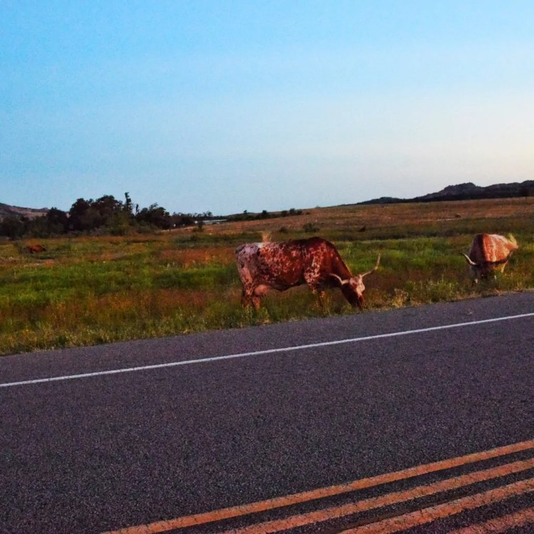 Longhorn grazing on the side of the road