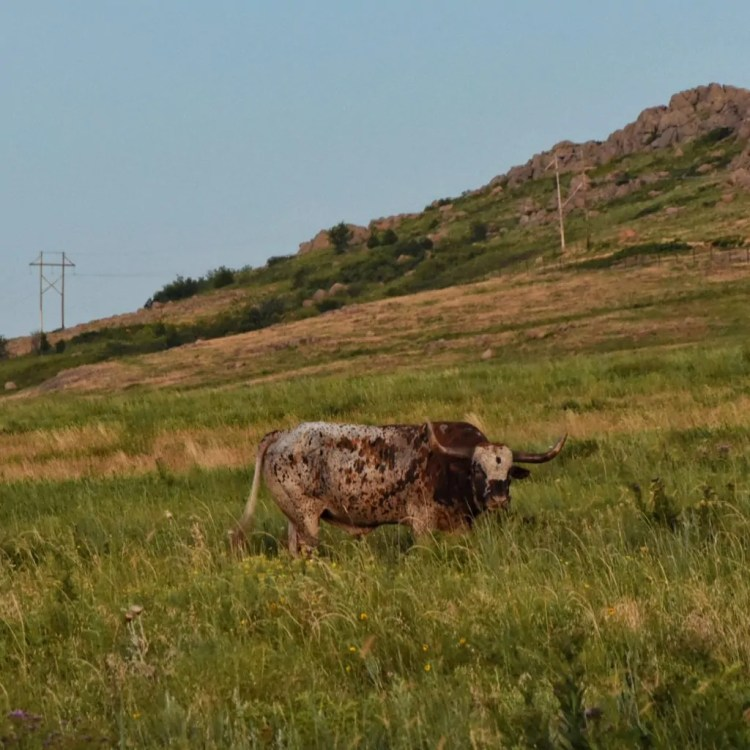 A Longhorn in the Wichita Mountains Wildlife Refuge