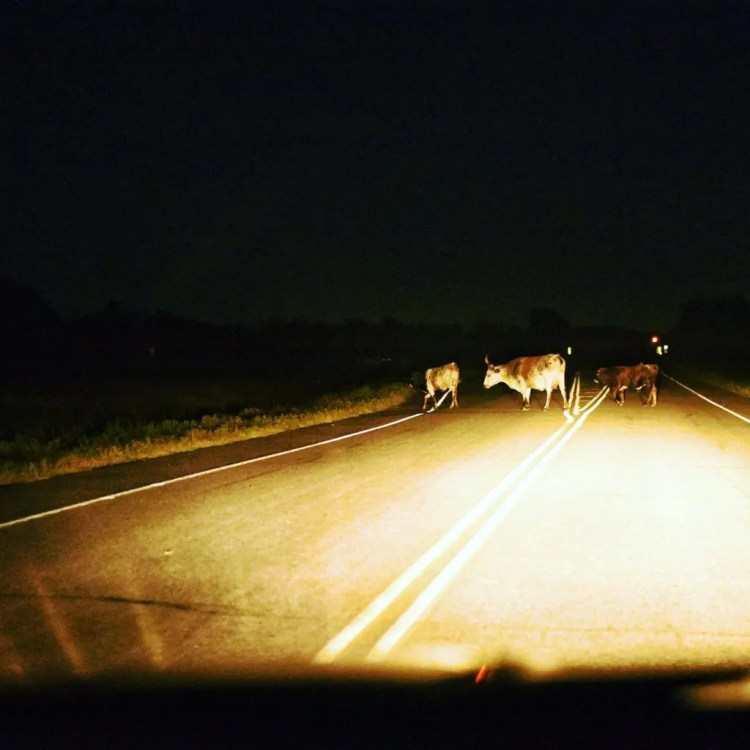 Longhorn cattle crossing the road in front of our car in the Wichita Mountains