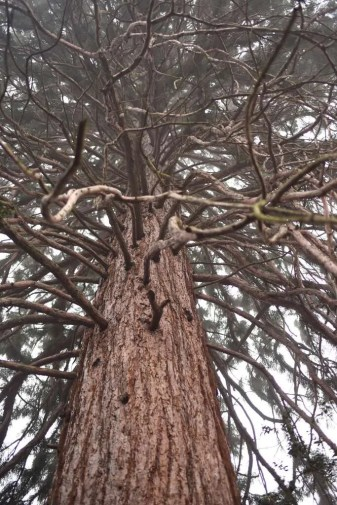 One of 2 American Giant Sequoia Trees on the grounds at Boyana