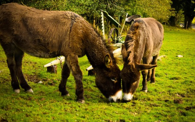 Donkeys at Molly Gallivan's Traditional Irish Farm