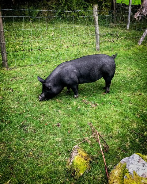 A naughty pig named Black Pudding