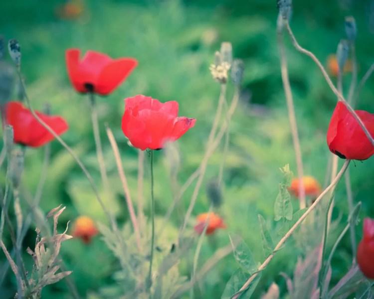 Azerbaijan - Ganja - Poppies