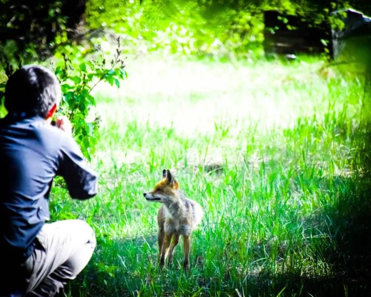 Chernobyl Fox Ukraine