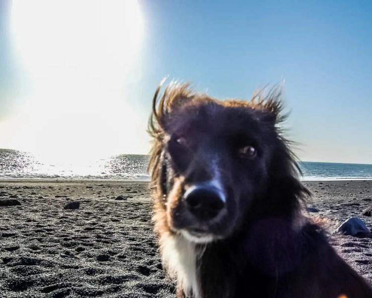 Iceland - Vik - Reynisfjara Black Sand Beach Dog