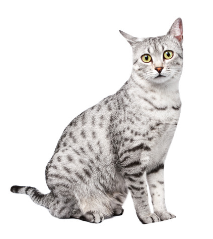 Cute Egyptian Mau with Yellow Eyes