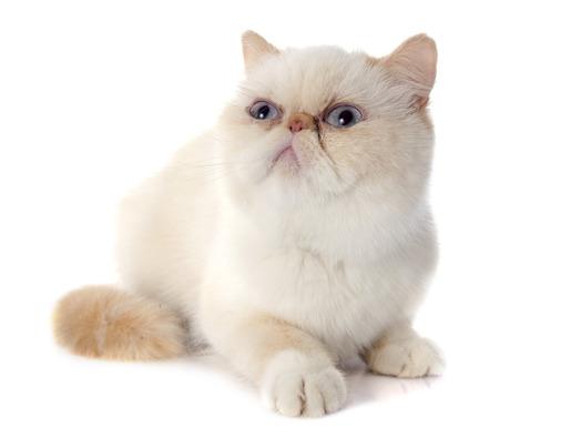 shorthair-cat