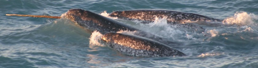 Tracking Narwhals in Greenland