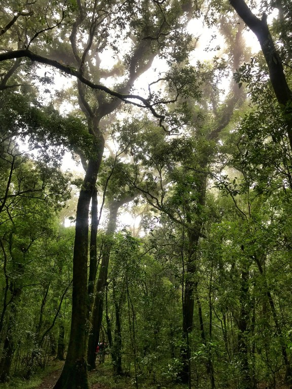 Mawphlang sacred forest - Tall trees - adventures in india