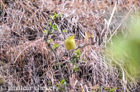 Grey hooded Warbler