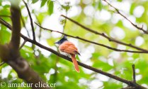 Asian Paradise Flycatcher Female