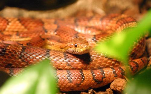 爬虫類 コーンスネーク