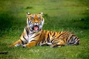 1907515-portrait-of-a-royal-bengal-tiger
