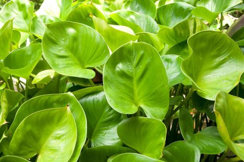 15-heart-leaf-philodendron