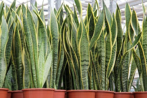 5-potted-sansevieria