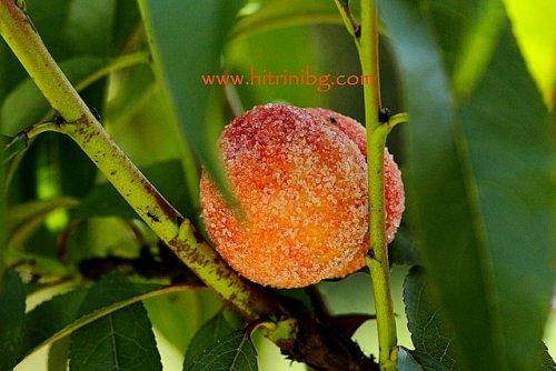 сладки прасковки на дърво