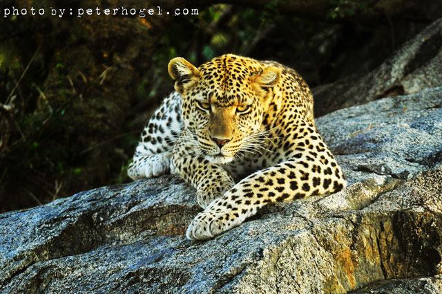 leopard640