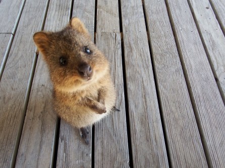 Cuteness. Quokka's on Rottnest Island, Perth