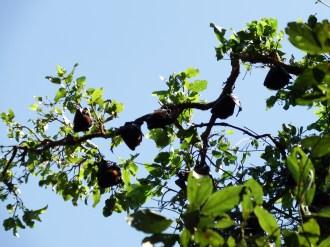 Bats roosting near Wangi Falls