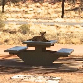 Sleepy dingo