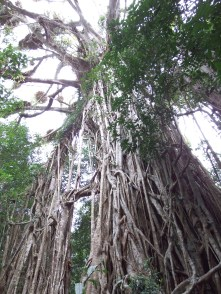 Cathedral Fig