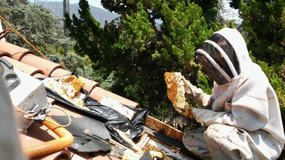 Bee removal in the San Gabriel Valley.