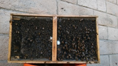 Bees in cage after live bee removal.
