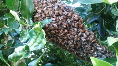 Swarm of bees in tree in Burbank CA.