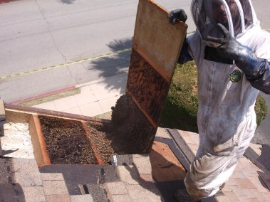 Opening roof to remove honeycomb in Pasadena.