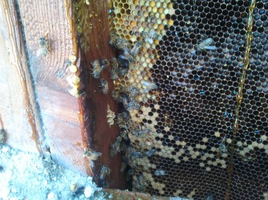 Close up of honeycomb inside wall during bee removal.