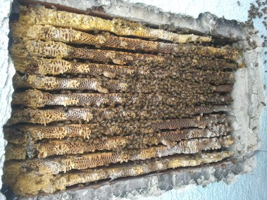 Inside of wall showing bees and honeycomb.