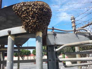 Bee swarm in industrial yard in Long Beach CA.
