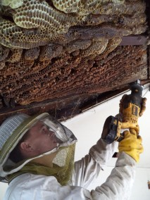 Opening up a ceiling to remove a beehive in west Los Angeles