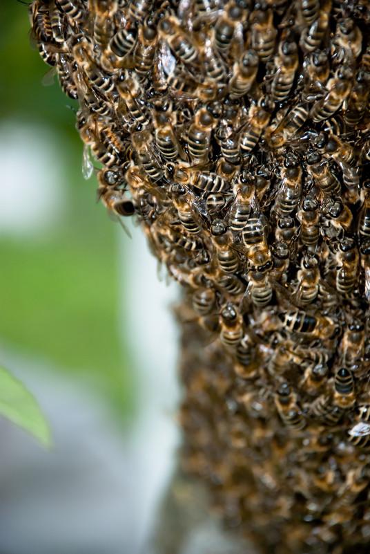 Bees clustered around queen
