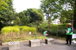 下田小学校の5年生が稲刈りに挑戦!児童を待つ水田と、松の川遊歩道(緑道)の会のメンバー(下田町4丁目・鳥の広場にて)
