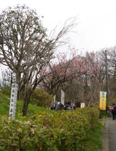 桃まつりは「綱島市民の森」桃の里広場にて開催。去年(2016年3月13日)には早咲きの桃も楽しめた