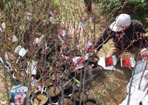 桃の苗木も準備されていました