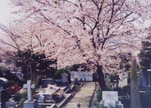 横浜山手・外国人墓地のシドモアの墓前に植えられた「シドモア桜」(池本三郎さん提供)