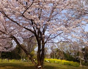 日吉の丘公園に植えられているシドモア桜も満開近付き、ようやく見頃となりました(2017年4月5日15時頃撮影)