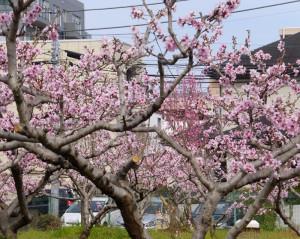 桃の花が枝に直接「まとわりつくように」咲くと池谷道義さんはその美しさを語る