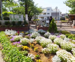 コミュニティ花壇のひとつ「綱島小学校ふれあいガーデン」も、毎年美しい花を咲かせる一大スポットとなった